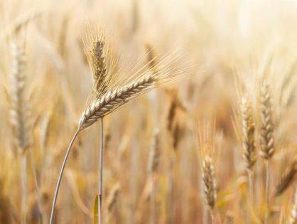 Jak skutecznie oczyścić ziarno pszenicy?